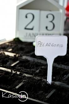Pełen opis i filmik, ak uprawiać pelargonie z nasion