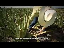 Lecznicze właściwości Aloesu