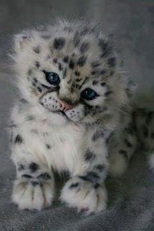 Dziki kotełek