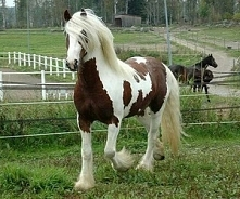 Tinker - rasa koni ogólnouż...
