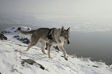 wilczak czechosłowacki.