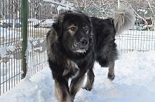 Owczarek rumuński Carpatin*