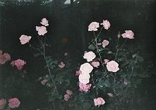 Ah! Te dzikie róże <3