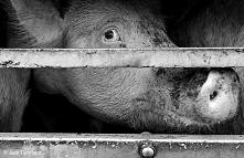 """""""Każdego roku co najmniej 1 miliard kur i 37 milionów cieląt, świń, owie..."""