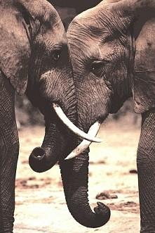 Niesamowite słonie!!  Okazuje się, że słonie są jednym  z  najbardziej uczuci...