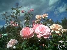 Dzika róża <3