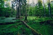 Puszcza Białowieska  (woj. podlaskie)- kompleks leśny położony na terenie Pol...