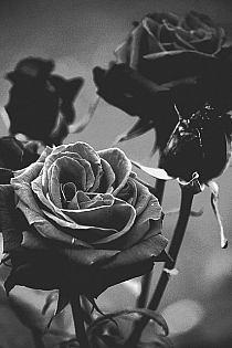 Róże ;>