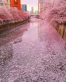 Kwitnące wiśnie w Tokio, Japonia