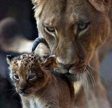 lwiątko ❤