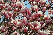 Magnolia :) Moje ulubione drzewko!