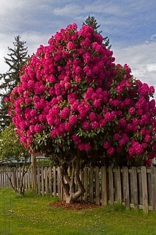 Rododendron <3