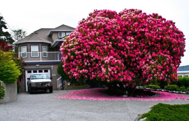 125-letni rododendron, Kanada.