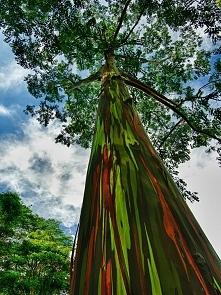 Tęczowy eukaliptus, Kauai, ...