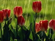 tulipany i deszcz