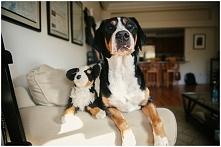 duży szwajcarski pies paste...