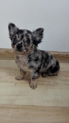 Pomożecie z wyborem imienia dla nowego członka naszej rodzinki? Piesek chihua...