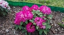 i kolejny.... . chwale się bo to piekne kwiaty i cieszę się ze mi nie przemar...