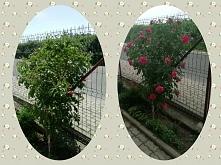 Moja róża... kilka dni różnicy a jaki piękny widok. I do tego cudownie pachni...