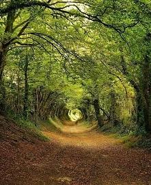 Tunel z drzew w Halnaker, Anglia