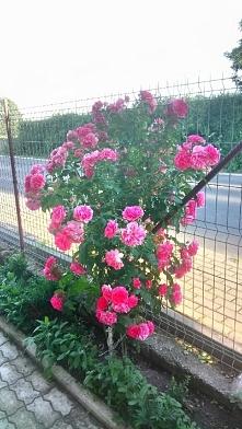 A tak moja róża wygląda teraz ☺️