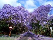 Jakaranda mimozolistna jest uważana przez niektórych za najpiękniejsze drzewo ulic oraz placów Lizbony.