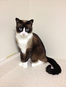 Kot snowshoe - amerykańska rasa krótkowłosych kotów o charakterystycznych białych skarpetkach, powstała z krzyżowania kotów amerykańskich krótkowłosych i syjamów. Rasa ta jest r...