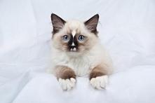 Ragdoll – rasa kota zalicza...