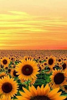 Morze słoneczników