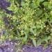 Żółtlica drobnokwiatowa - chwast pożyteczny dla zdrowia ;)