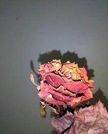 kwiat, rose,love