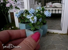 hortensja mini