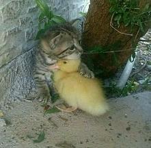 kot, kaczka