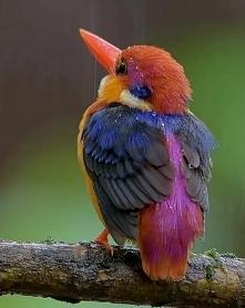 Oriental Dwarf Kingfisher :o