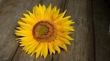 Słonecznik *.*