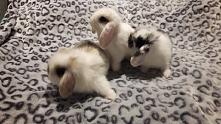 Moje maluchy ♡ Zakróliczonych zapraszamy na instagram Leos_bunny_pl ❤ Zaprasz...