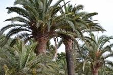 palmy - piękności Włoch :D