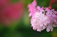 hortensja z ogródka
