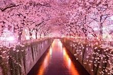 Japonia wiśniowy park