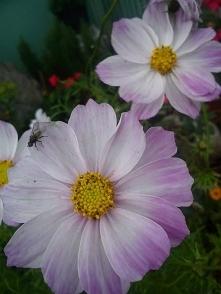 kosmos a'la motyle delikatny róż