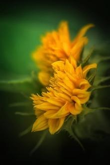 . . . jesienne słoneczniki z ogródka