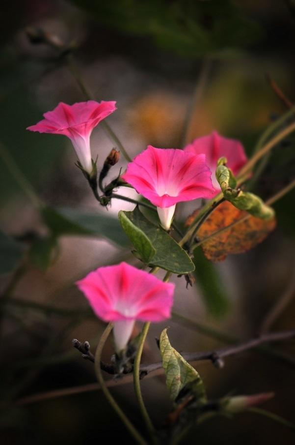 powoje z jesiennego ogródka