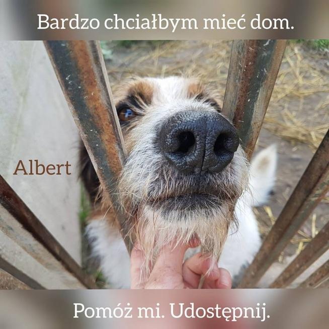 ALBERT NADAL W SCHRONISKU! PORA TO ZMIENIĆ. PROSIMY O UDOSTĘPNIENIA. Ten przepiękny, wesoły i przyjacielski pies już zbyt długo czeka na dom. Jest duży, ale równie wielkie jest jego przywiązanie do człowieka. Albert uwielbia wspólne zabawy, spacery, głaskanki. Pięknie koncentruje się na opiekunie.
