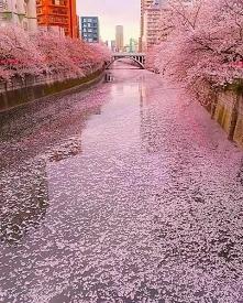 Kwitnące wiśnie - Japonia ❤