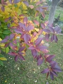 forsycja jesiennie