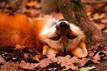 fox^^