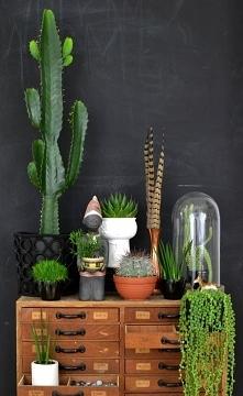 Kaktusy !