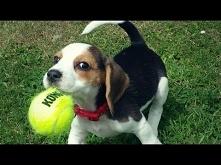 Psy ciamajdy i piłka tenisowa