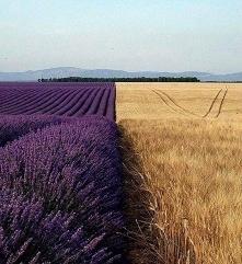 Lawendowe pole obok pola pszenicy, Prowansja, Francja