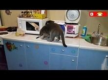 Kot i kuchnia to złe połączenie